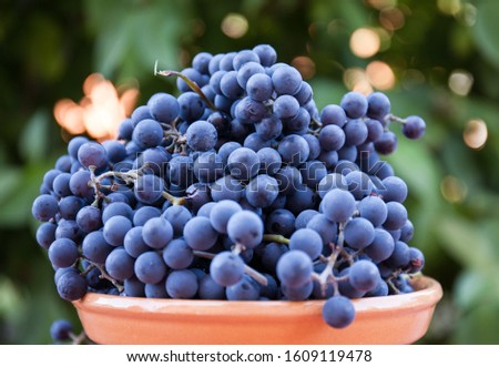 Ripe bunches of grapes with a slide in a plate on the table. Harvest for good health against the backdrop of a summer garden. Side view.