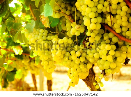 Ripe bunches of green grapes hanging in vineyards