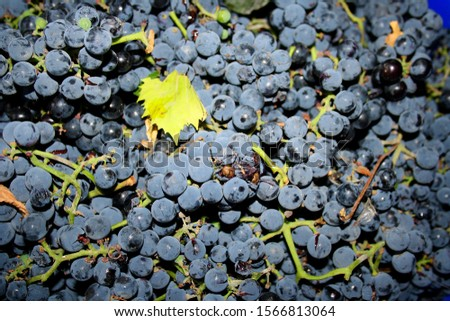 Ripe bunches of harvested grapes lying in a bunch