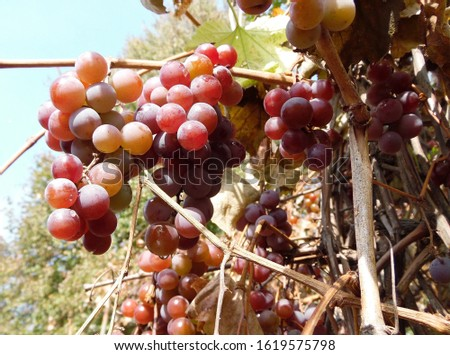 Ripe bunches of pink grapes hang on a branch of a vineyard against a blue sky