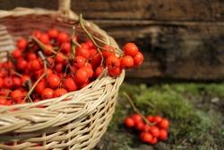 ripe bunches of rowan berries in a wicker basket