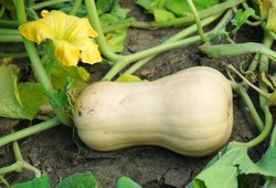 ripe butternut squash in the field during harvest season