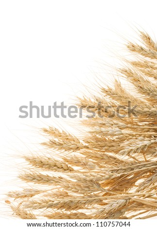 ripe cereals barley isolated on white background