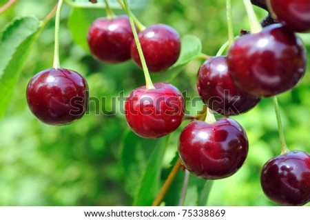 ripe cherries - stock photo