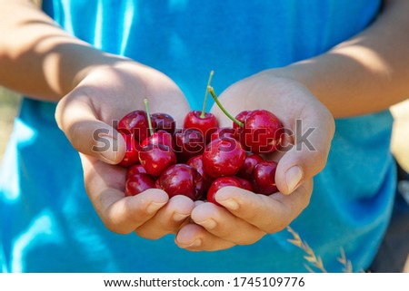 Ripe cherries in the hands. Hands with cherry berries. Sweet cherry picking. Sunny day. Cherry Farm.  Harvesting cherries in the garden. Brentwood, California, USA