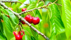 Ripe cherry on a tree branch with stems and leaves. Big collection of red berries. Ripe background. Selective focus