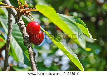 Ripe cherry on the tree
