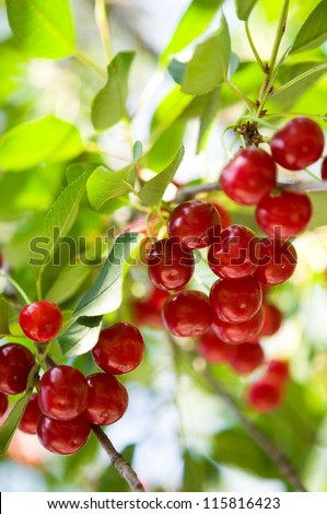 Ripe cherry on the tree - stock photo