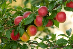 Ripe cherry plum on a branch. Red-yellow plum fruit. Orchard. The maturation of the fruit. Summer fruit on a soft blurry background. Red and green shades. Vitamins. Selective focus
