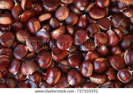 Ripe chestnuts close up. Raw Chestnuts for Christmas. Fresh sweet chestnut. Castanea sativa top wiew. Food background.