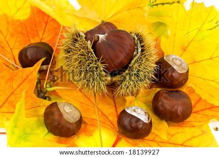 ripe chestnuts on the autumnal,decorative leaves