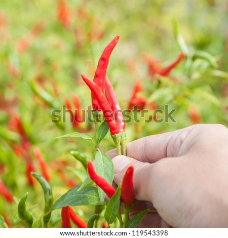 ripe chili in the garden with vibrant colors