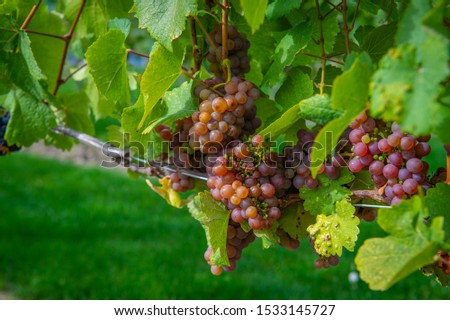 Ripe clusters of colorful gewurztraminer grapes set against a bright green leafy bokeh background, in a vineyard in Lake Country, British Columbia. #1533145727