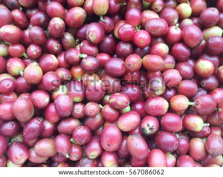 Ripe coffee beans as a background #567086062