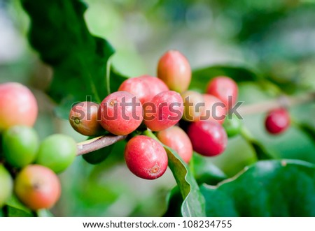 Ripe coffee beans on plant.