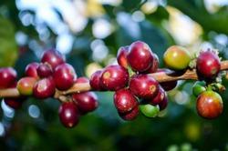 Ripe coffee berries of
