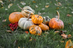 Ripe colorful orange pumpkins with red berries on the green grass field with fallen autumn leaves. Country scene for thanksgiving or Halloween