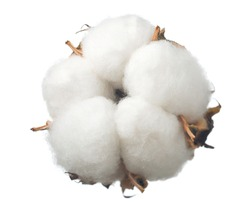 ripe cotton boll isolated on the white background