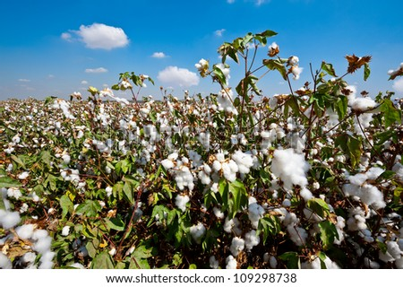Ripe Cotton Bolls on Branch Ready for Harvests