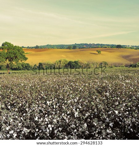 Ripe Cotton Bolls on Branch Ready for Harvests, Vintage Style Toned Picture