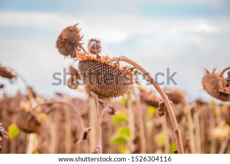 Ripe dried, ripe sunflowers on a farm field awaiting harvest on a sunny day. Field crops. #1526304116