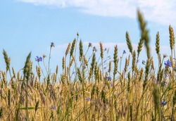 Ripe dry ears of wheat