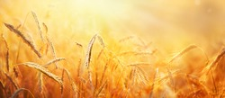 Ripe ears of grain in strong sunlight early morning. Beautiful sunrise landscape. An agricultural field with wheat. Nature background.
