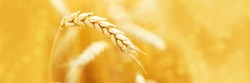 Ripe ears of rye in field during harvest. Agriculture summer landscape. Rural scene. Macro. Panoramic image. Copy space for your text