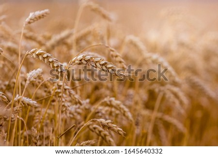 Ripe ears of wheat in the field. Wheat cultivation