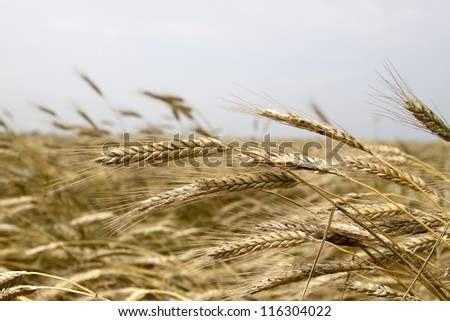 Ripe ears of wheat in the fields of Altay