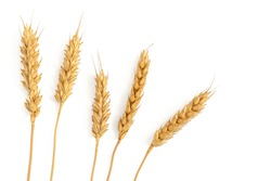 Ripe ears of wheat isolated on a white background. Top view, flat lay