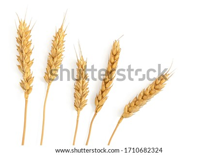 Photo of  Ripe ears of wheat isolated on a white background. Top view, flat lay