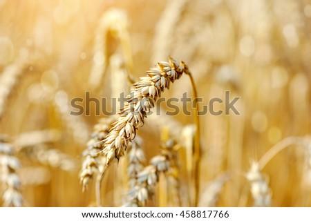 Ripe ears wheat. Close-up #458817766