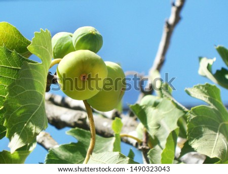 Ripe figs and young figs on a branch of fig tree. Summer season and blue sky. low-angle shot. #1490323043