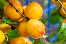 Ripe fresh organic apricots with water drops on a tree branch. Closeup, selective focus