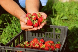 Ripe fresh strawberries in the hands of the farmer and in a plastic box after harvesting sweet red berries.