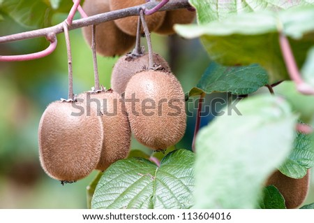 ripe fruits of kiwi plant - organic cultivation in italian orchard of actinidia chinensis