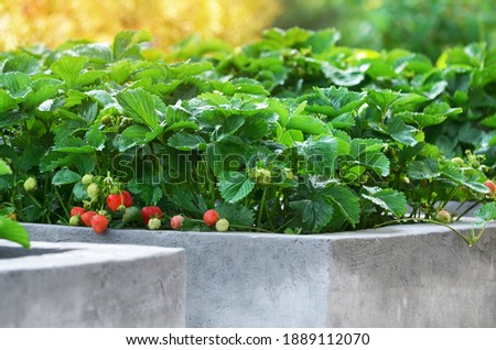 Ripe garden strawberries grow on raised beds made of concrete in a private household. Stock photo ©
