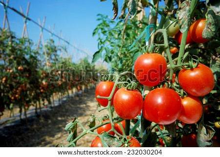 RIpe garden tomatoes ready for picking