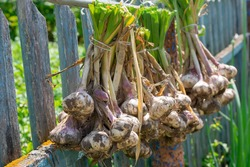 Ripe garlic bulb plants are hanging on old fence for aerate. Autumn season harvest preparation for saving during winter time, seasoning for meal
