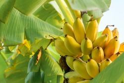 ripe gold banana on tree at agriculture garden.