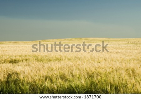 Ripe golden barley field.