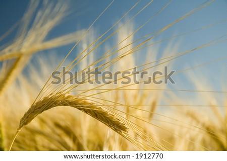Ripe golden barley stalk.