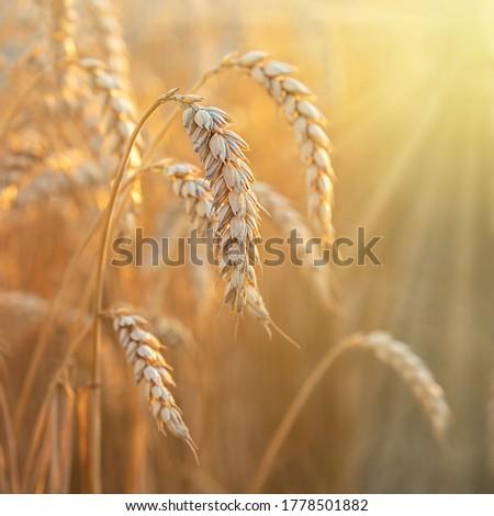 Ripe golden spikes with sun rays Stock photo ©