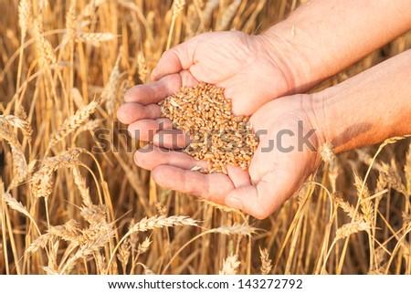 Ripe golden wheat ears in her hand the farmer #143272792