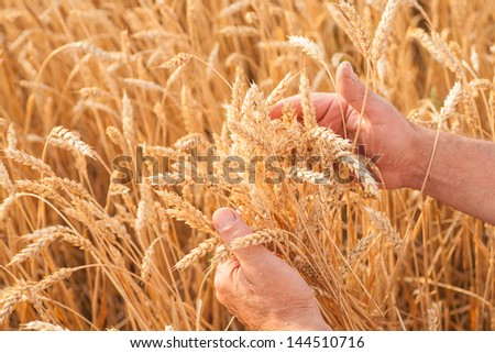 Ripe golden wheat ears in her hand the farmer