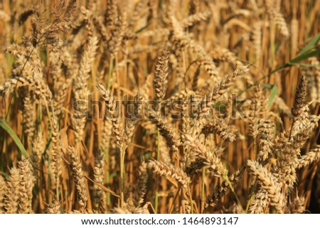 Ripe golden wheat ears shine in the sunset light. Matured grains ready for threshing. Close up of Latvian Agricultural landscape. Raw material for bread and other flour-based foods. Texture of cereals