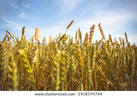 Ripe golden wheat ears under blue sky on sunny day, close up #1458194744