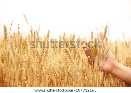 Ripe golden wheat in hand