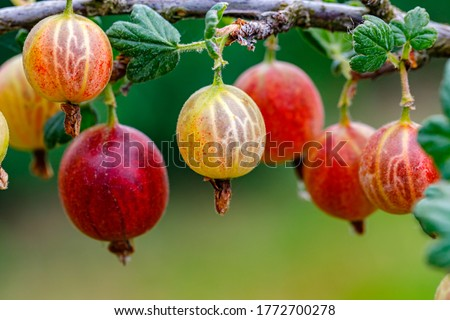 Ripe gooseberries berries on a branch. Red berry with green leaves in garden, closeup Stock photo ©